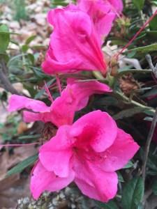Encore azaleas. I know. In November.