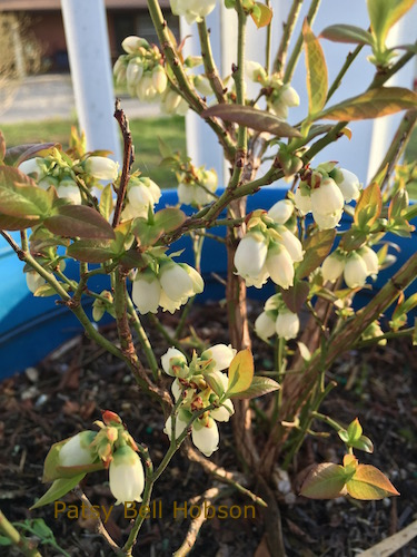 blueberry blooms