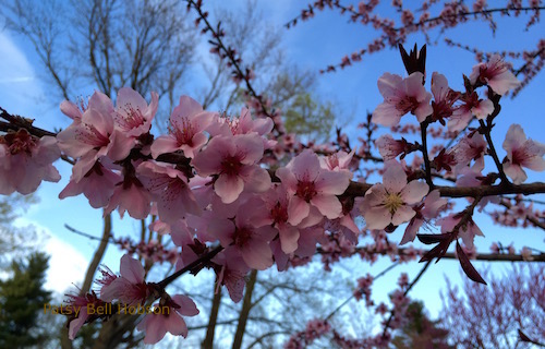 The tree is covered with pale pink blooms.