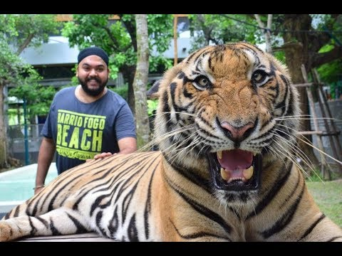 Tiger Park Pattaya | Thailand Assortment | Whats Happen's in the discontinuance will give you goosebumps…!!!