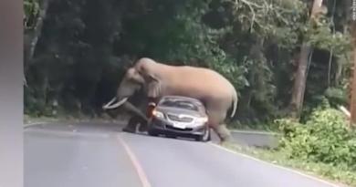 Thailand Bull elephant kneels on automobile in Thailand