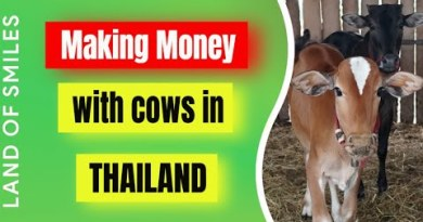 Getting cash with cows in Thailand (2020)