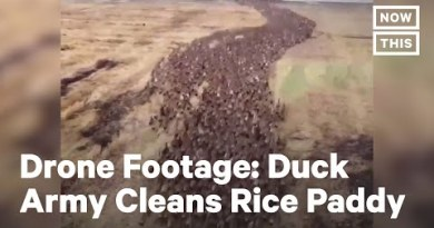 10,000 Ducks 'Neat' Rice Paddy in Thailand | NowThis