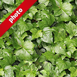 ヘデラ(アイビー)の葉っぱの写真加工パターン