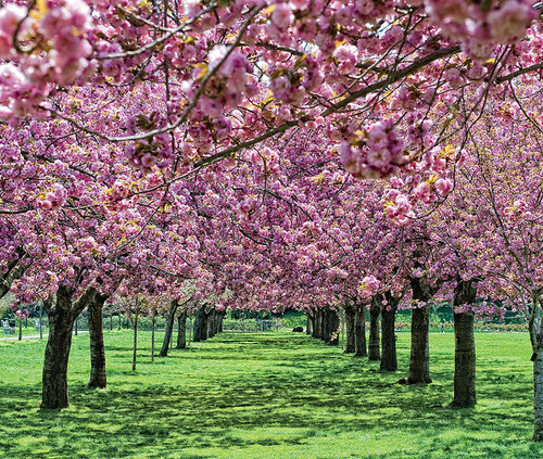 cherry blossoms_botanical gardens