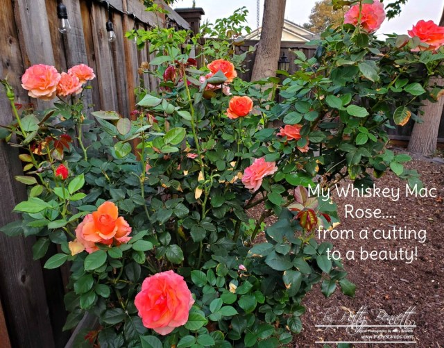 Patty's rose garden, Whiskey Mac Rose cultivated from a cutting in 2016.  www.PattyStamps.com