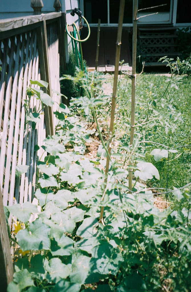 How To Grow Cucumbers On A Trellis Pat Welsh Organic And