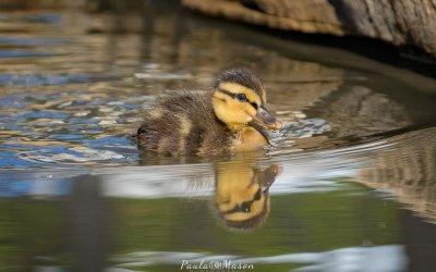 Baby Ducks at Watters Creek in Allen