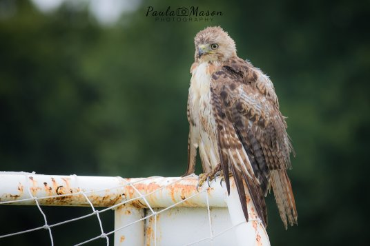 Injured Red-tailed Hawk in Plano