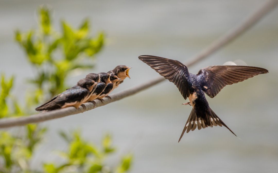Everyone Needs to See Baby Swallows Being Fed…