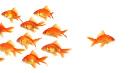 Goldfish swimming against the rest