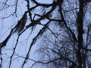 lav i träd