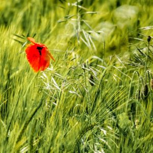 Poppy in the grass, Morton-on-Swale