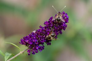 Bees on Buddleia