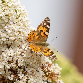 A Painted Lady on Buddleia