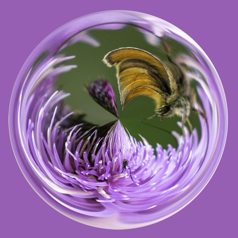 Butterfly on thistle PSC012