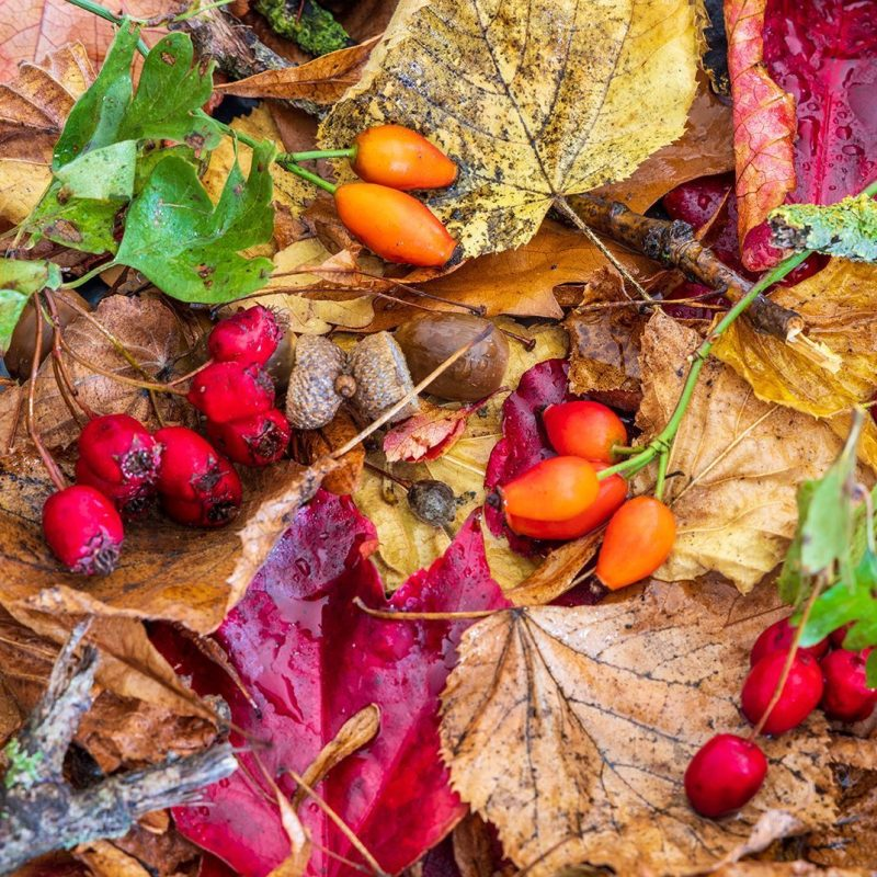 Rosehip and hawthorn berries