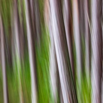 Pine tree trunks ICM