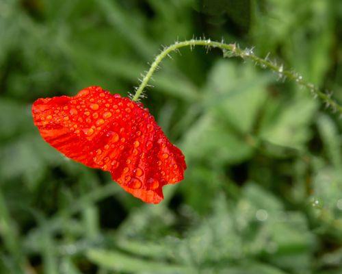 Raindrops on poppy (colour)