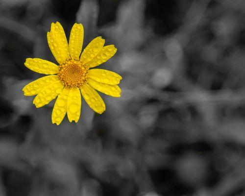 Raindrops on Yellow Flower