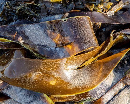 Kelp sheen