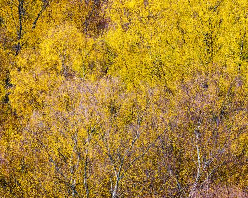 Spread of birch trees