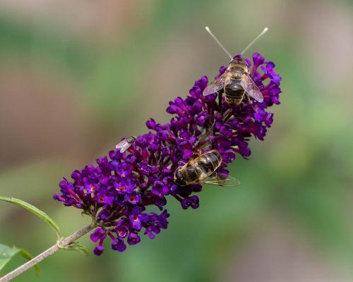 Bees on Buddleia
