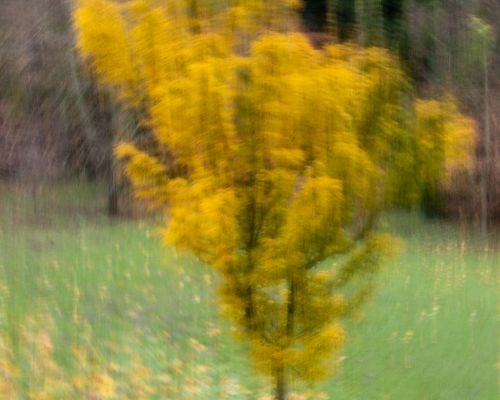 Tree at Thorp Perrow (ICM)