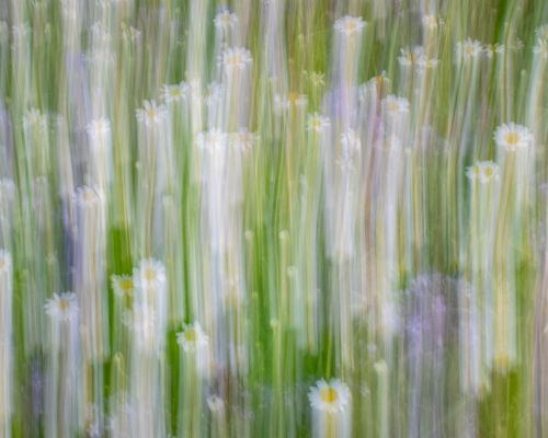 Flowers in meadow, Morton-on-Swale (ICM)