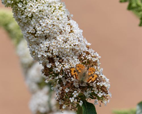 Two Painted Lady Buterflies