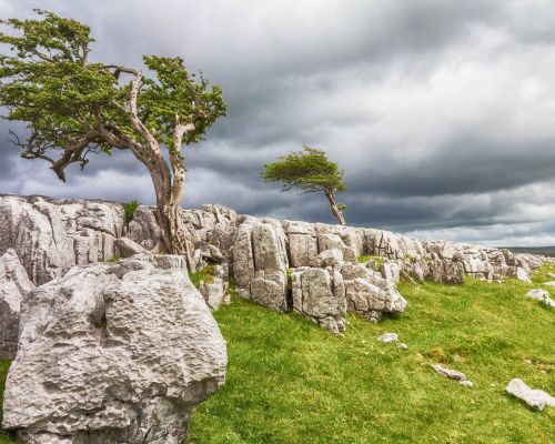 Two trees on limestone pavement