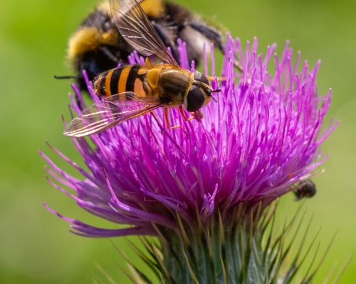 Bee and Hover Fly on thistle