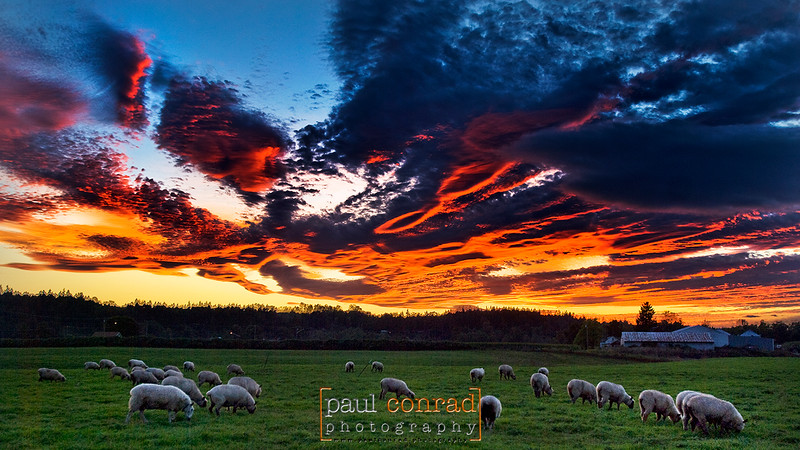 Sheep graze under as a blazing sunset ignites the clouds over Snohomish County, Wash. © Paul Conrad/Paul Conrad Photography - Rights limited to laptop/desktop computer usage only. No printing allowed.
