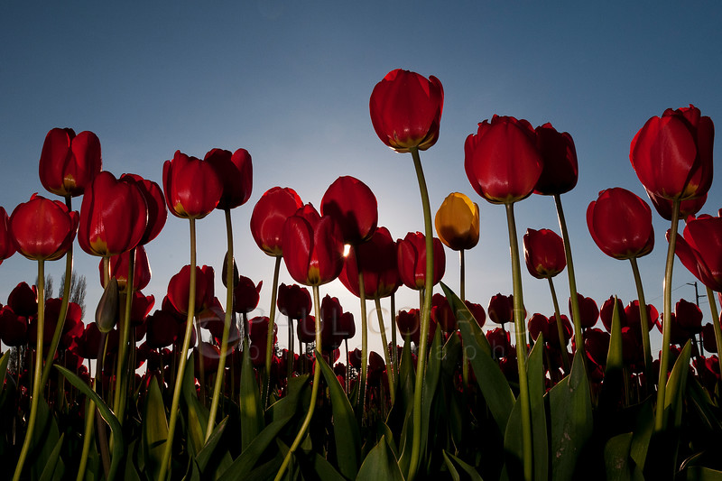 © Paul Conrad/Pablo Conrad Photography - Tulips blooming at Rozengaarde Tulip Farm in Skagit County, Wash., on Tuesday April 15, 2013.© Paul Conrad/Pablo Conrad Photography-Tulips blooming at Rozengaarde Tulip Farm in Skagit County, Wash., on Tuesday April 15, 2013.