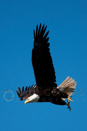 © Paul Conrad/Pablo Conrad Photography - A Bald Eagle (Haliaeetus leucocephalus) takes flight along West Beach Road on Whidbey Island east of Oak Harbor, Wash.
