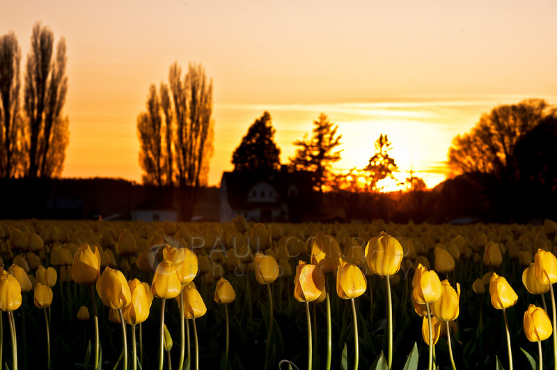 © Paul Conrad/Pablo Conrad Photography - Tulips blooming at Rozengaarde Tulip Farm in Skagit County, Wash., on Tuesday April 15, 2013.