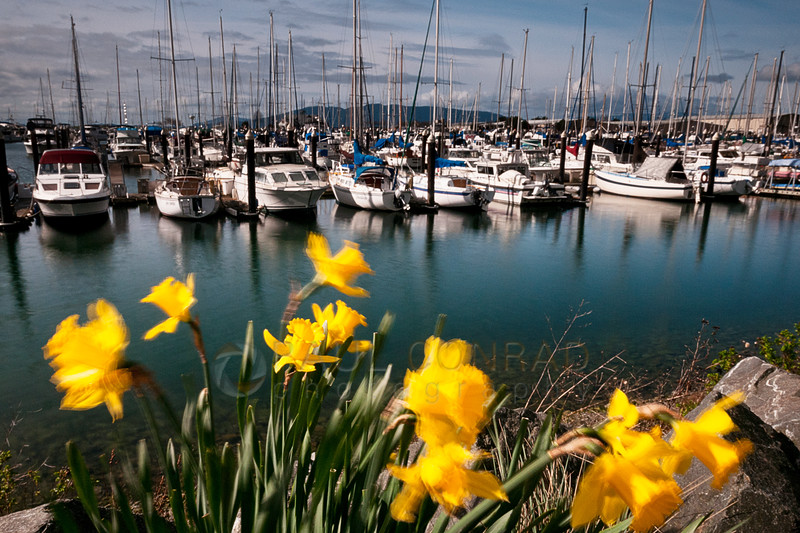 © Paul Conrad/ Pablo Conrad Photography - Daffodils (Narcissus pseudonarcissus) along the trail around Squalicum Harbor in Bellingham, Wash., on Wednesday afternoon March 26, 2014.