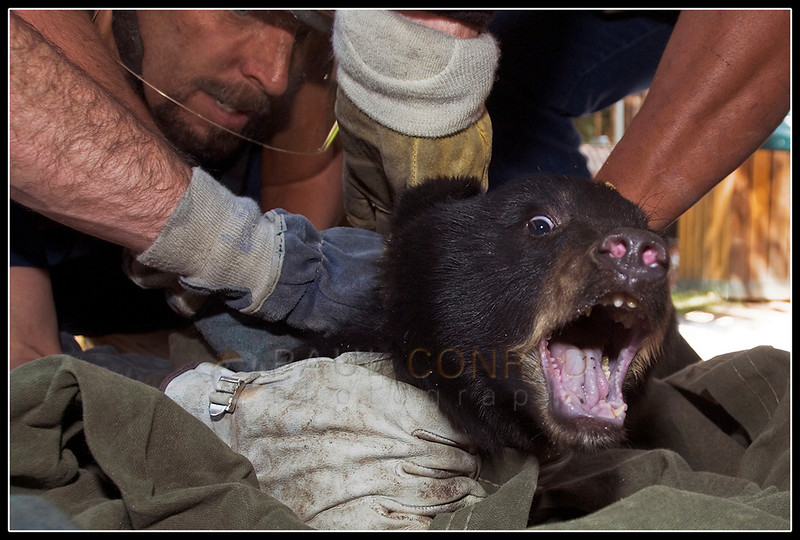 "© Paul Conrad/Pablo Conrad Photography - Aspen firefighter Craig Melville, left, and others hold tight as a bear cub screams in disapproval on the Hyman Avenue Mall in Aspen, Colo. A mother and her two cubs were captured by the Colorado Division of Wildlife to be moved to a safer region. ""We'll be letting them go as a family,"" said DOW wildlife manager Kevin Wright. The mother and her cubs have been created a stir as they napped in trees and searched for food in the downtown area."