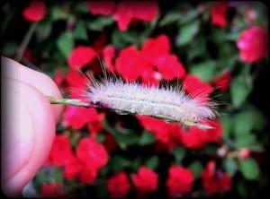 iPhone 4 macro photo of caterpillar this morning.