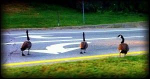 The reason for the traffic jam this morning… Birdbrains!
