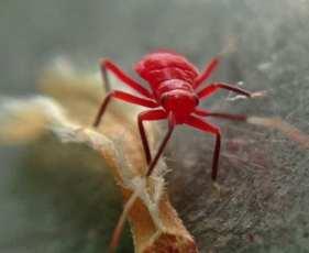 Tiny Red Bug iPhone Macro photo