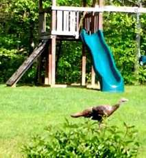 Wild turkey walking across our backyard just now