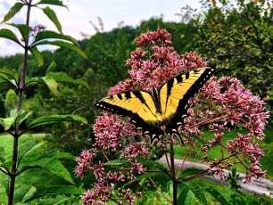 Driveway Butterfly Bush