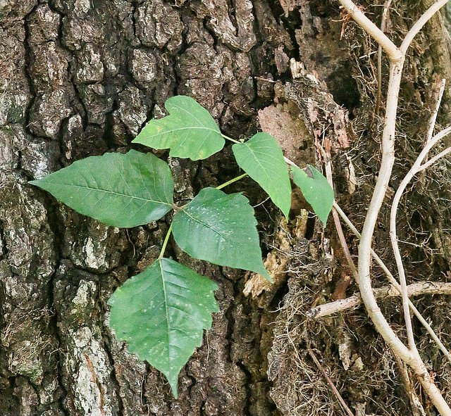 poison ivy at base of tree