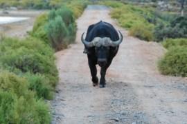 A wildebeest on the warpath