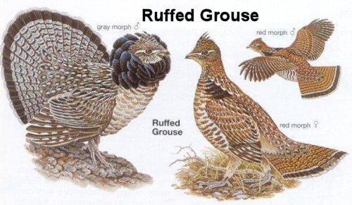 Vs Grouse Ruffed Female Male