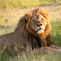 Response to Cecil the Lion's death is a sad lesson in the irrationality of public opinion