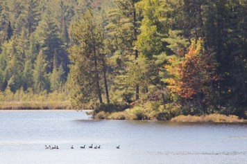 A gaggle of geese take a break from their migration south on nearby Jones Pond.