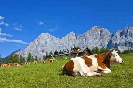 Ein Paradies für Kühe auf der Walcheralm in Ramsau am Dachstein