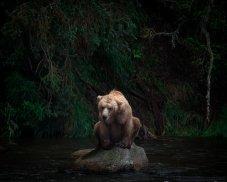 Un oso grizzly espera por un salmón en Brooks Falls, Alaska. Foto: Acacia Johnson.